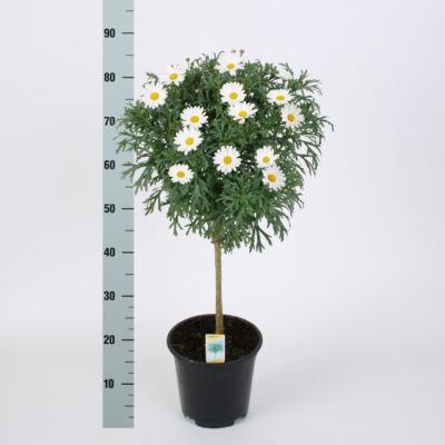 Margaréta fa 45 cm