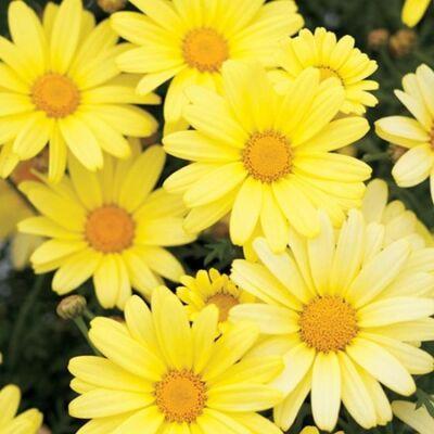 Margaréta bokor 18 cm-s cserépben, sárga 50 cm