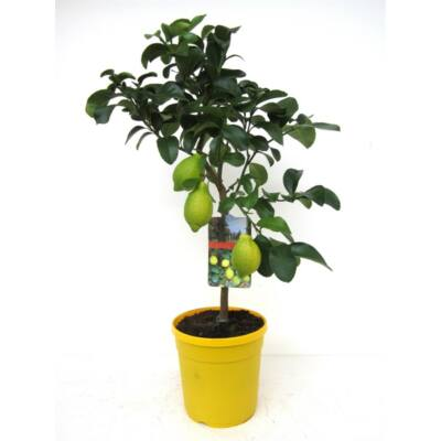 Citrom fa terméssel, 50 cm