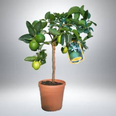 Lime fa terméssel, 70 cm