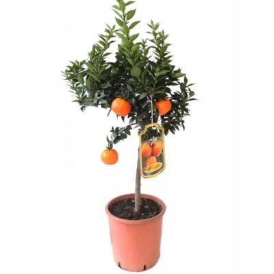 Mandarin fa terméssel 70 cm