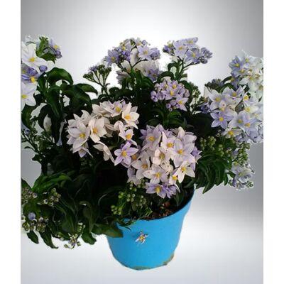 Kék virágú csucsor 14 cm-s cserépben
