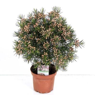 Waxflower 25-30cm, 14cm-s cserépben