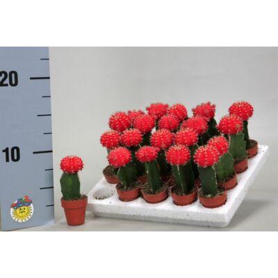 oltott kaktusz 6cm-s cserépben piros