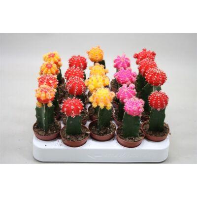 oltott kaktusz 6cm-s cserépben sárga