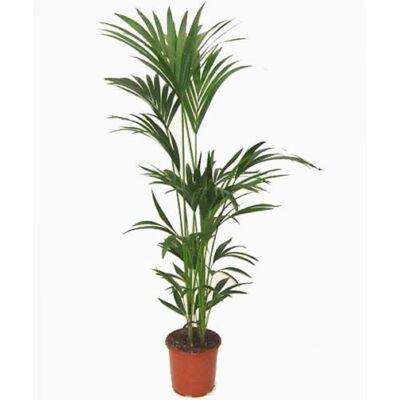 Kentia pálma 150-170 cm