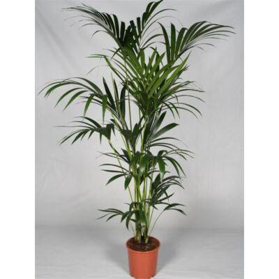 Kentia pálma 170-200 cm