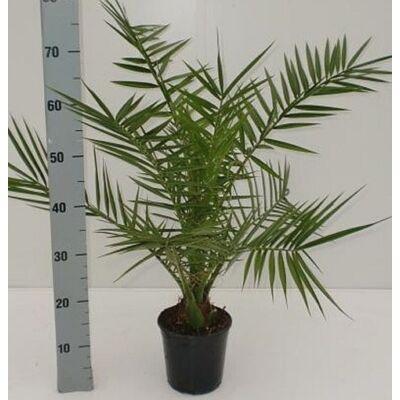 Datolya pálma 60-70 cm