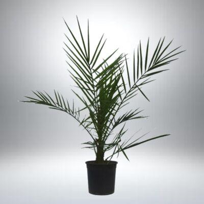 Datolya pálma 15 cm-s cserépben