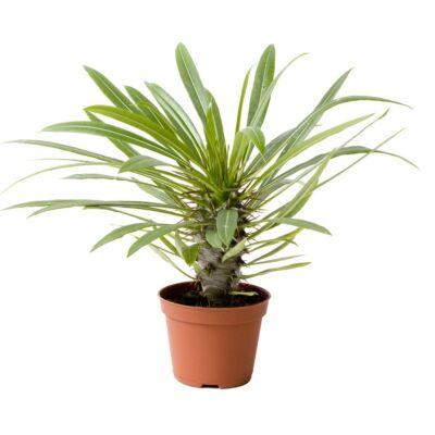 Madagaszkári pálma, Pachypodium Lamerei