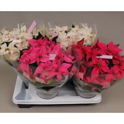 Mikulásvirág Princettia 35cm, 12cm-s cserépben, rózsaszín