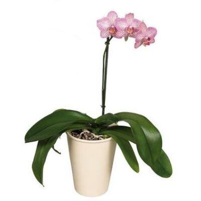 Lepke Orchidea 60cm 2 virágszálas Anthura Moscow