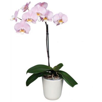 Lepke Orchidea 60cm 1 virágszálas Antura Salinas