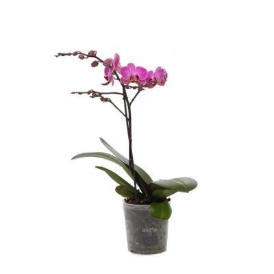 Lepke Orchidea 60cm 1 virágszálas Floricone Perceval