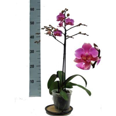 Lepke Orchidea 60cm 1 virágszálas Multiflora Hamburg