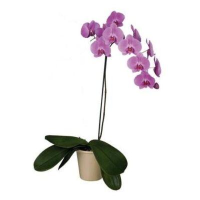 Lepke Orchidea 60cm 1 virágszálas Las Palmas