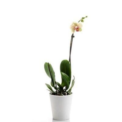 Lepke Orchidea 60cm 1 virágszálas Pebble Beach