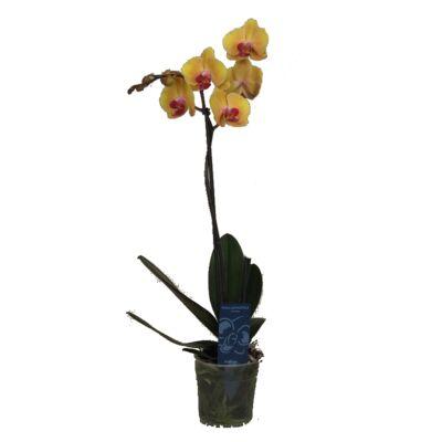 Lepke Orchidea 60cm 1 virágszálas Sin-Yaun Golden Beauty
