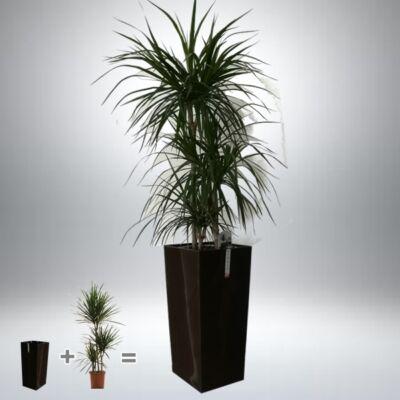 Sárkányfa kaspóban 130-140 cm cm