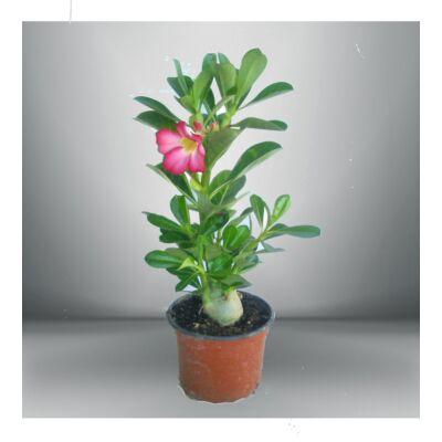 Sivatagi Rózsa 12 cm cserépben