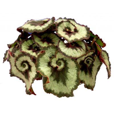 Királybegonia Escargot 12 cser.