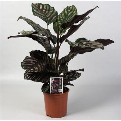 Nyílgyökér, Calathea sanderiana 40 cm