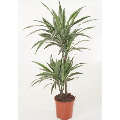 Sávos Sárkányfa 60-70 cm, 2 növény/cserép