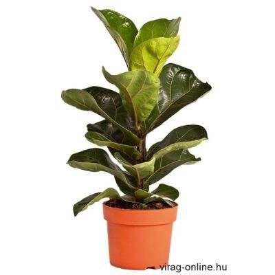 Lantlevelű Ficus 12 cm-s cserépben