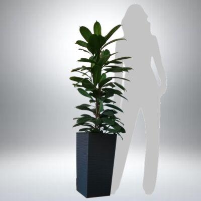 Serlegkocsányú fikusz kaspóban 130-140 cm