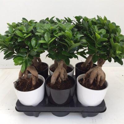Ficus Ginseng BONSAI + kaspó