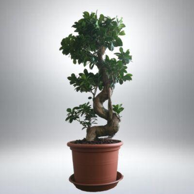 Ficus Ginseng BONSAI 90 cm