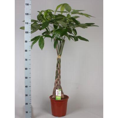 Vadkakaó, Pachira 120 cm