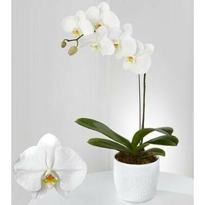 Lepke Orchidea 60cm 1 virágszálas White wonder