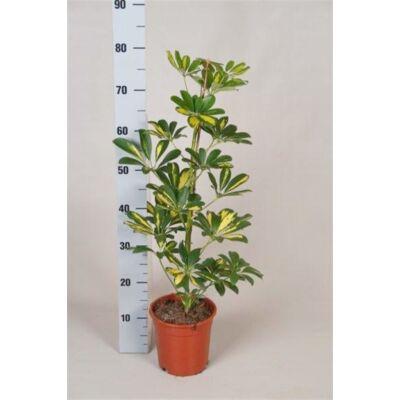 Sugárarália, Schefflera trinette 17cm-s cserépben, 70 cm