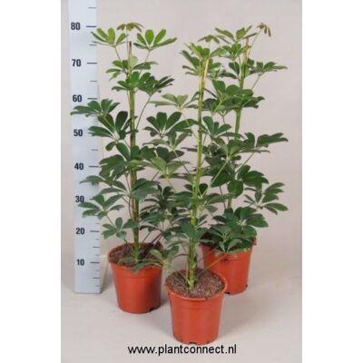Sugárarália, Schefflera nora 17cm-s cserépben, 70 cm