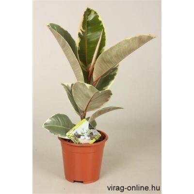 Tarka Szobafikusz 40 cm Ficus Belga