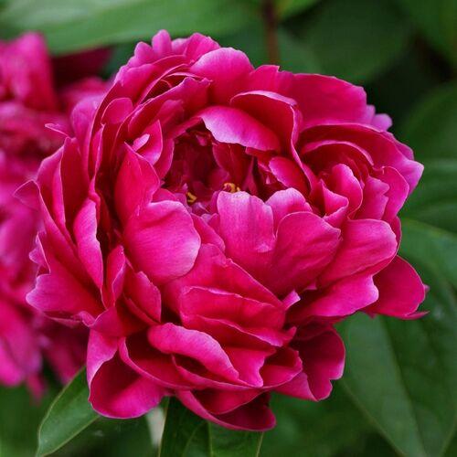 Bazsarózsa fásszárú 3 lit. sötét rózsaszín