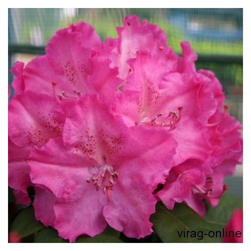 Havasszépe 2 lit. kont. bokor rózsaszín