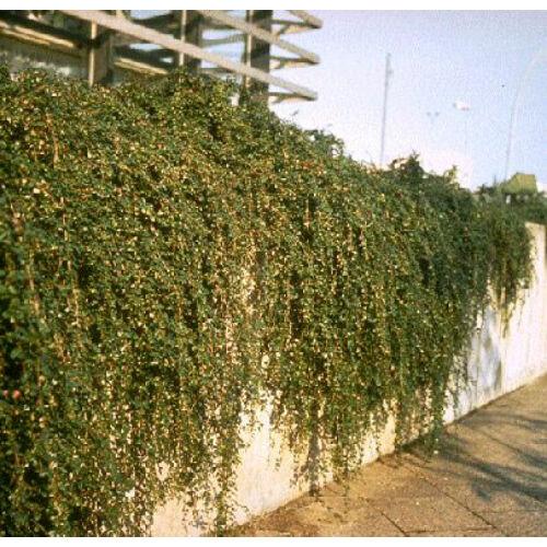 Madárbirs 30-40cm