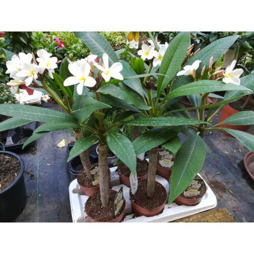 Plumeria, Templomfa 50 cm