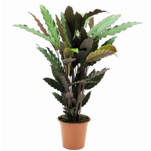 Calathea rufibarba 40 cm