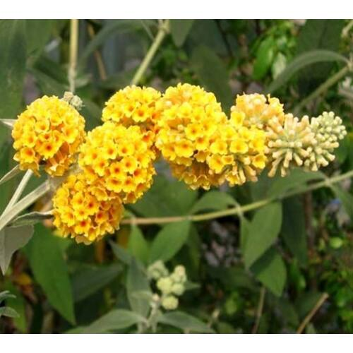 Nyári Orgona 3 literes kont. sárga
