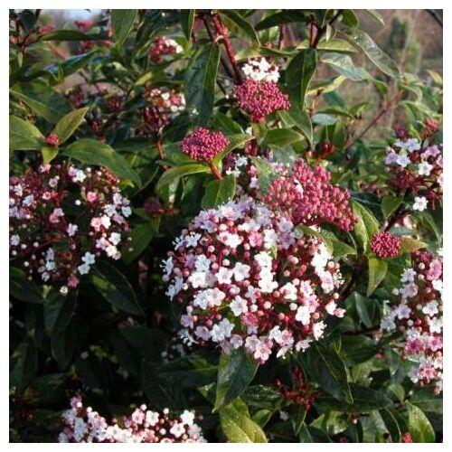 Téli Bangita, Viburnum tinus 2 lit kont