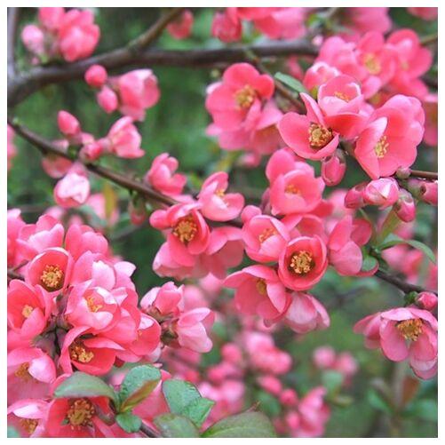 Japánbirs 30-50 cm, rózsaszín