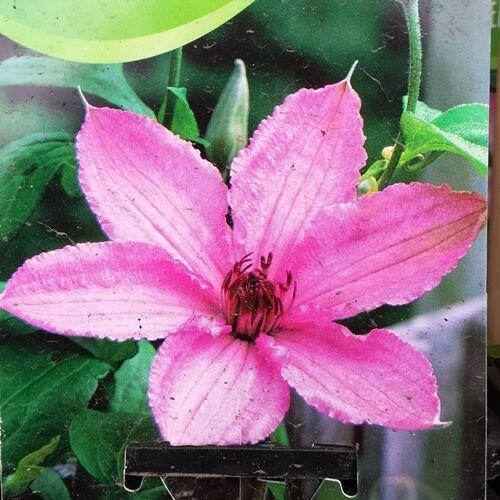 Kerti Iszalag, Hagley hybrid rózsaszín 2 lit kont.
