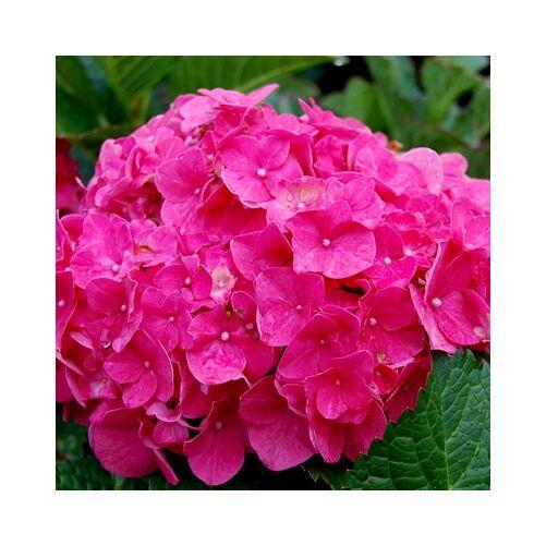 Hortenzia 'Bouquet rose' 2 literes konténerben