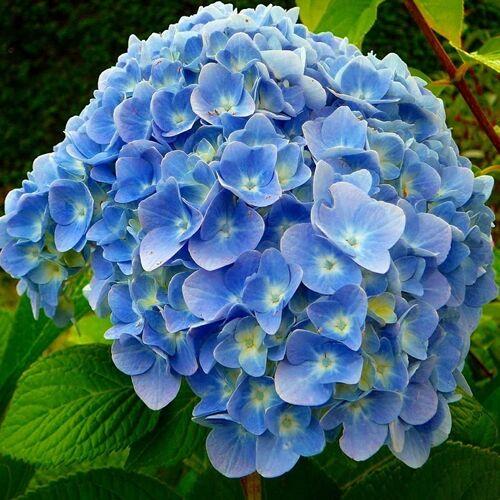 Hortenzia 'Nikko Blue' 3 literes cserépben