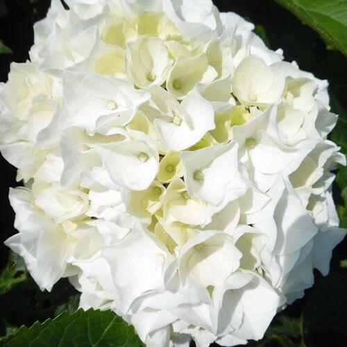 Hortenzia  'Wudu' 3 literes cserépben