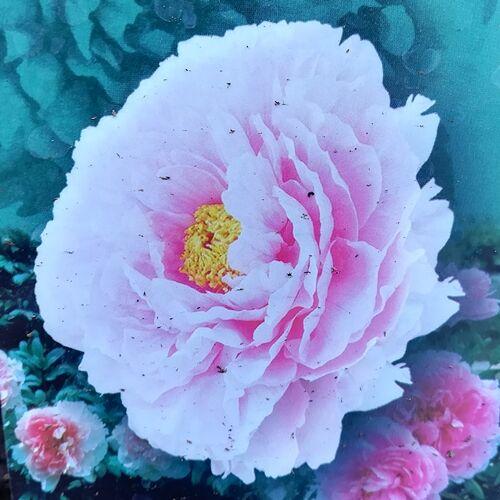 Bazsarózsa fásszárú telt rózsaszín