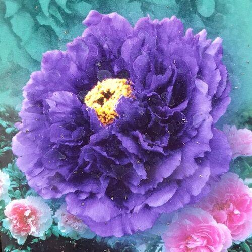 Bazsarózsa fásszárú 1 lit kont.  lila, telt virágú